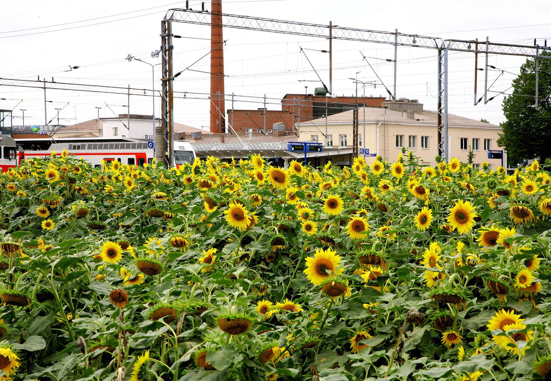 Riihimäen kaupungin työllisyyspalveluiden kuvituskuva. Kuvassa edustalla keltaisia auringonkukkia, tautalla juna ja Riihimäen asema., jonka takaa näkyy hiukan Voimala-rakennusta.